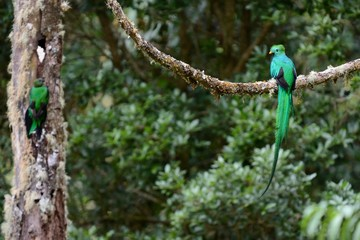 Nesting resplendent quetzal