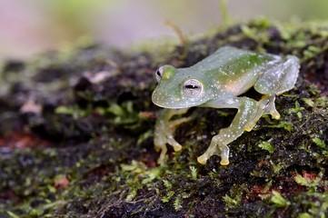 Powdered glass frog