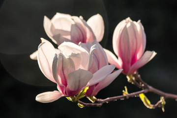 magnolia flowers on a dark  background