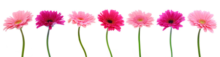 Garden Poster Gerbera Pink gerber flowers isolated.