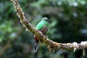 Female of resplendent quetzal