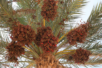 date palm full of fruits