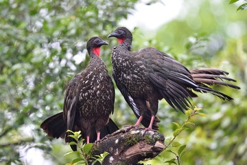 Couple of crested guan