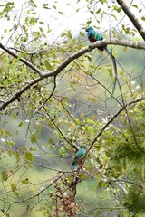 Couple of resplendent quetzal