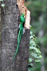 Male of resplendent quetzal nesting