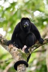 Male of howler monkey