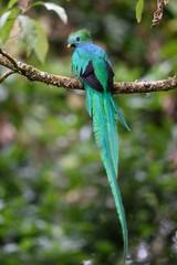 Male of resplendent quetzal resting