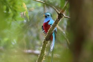 Hidden resplendent quetzal
