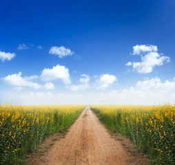 Dirt road into yellow flower fields with clear blue sky