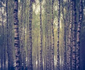 Vintage photo of birch forest