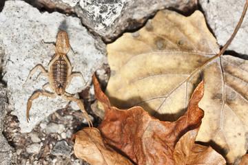 yellow scorpion, Buthus occitanus