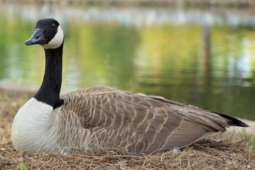 Breeding Goose