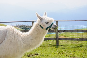 White alpaca eating