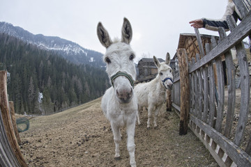 white donkey portrait