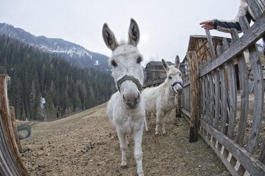 white donkey portrait