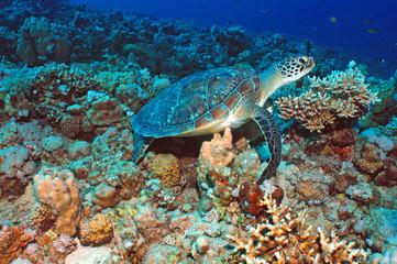 Schildkröte im Riff