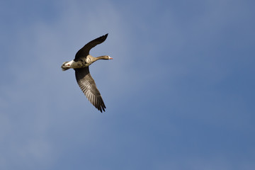 Lone Greater White-Fronted Goose Flying in a Blue Sky