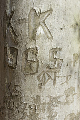love signs, texture of the bark of a beech tree with carved lett