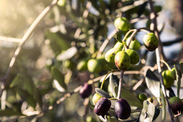 Olive branches in Chianti region, Tuscany