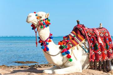 White proud camel resting on the Egyptian beach. Camelus dromeda