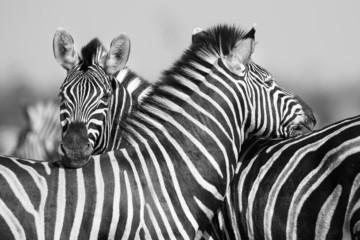Zebra herd in black and white photo with heads together - fototapety na wymiar