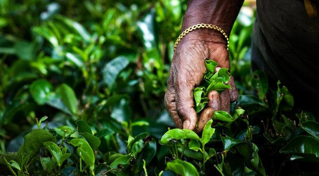 Tea picker woman's hands