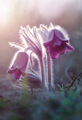 Small Pasque Flower (Pulsatilla pratensis)