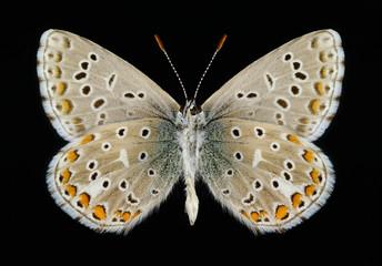 Butterfly Polyommatus bellargus (male) (underside)