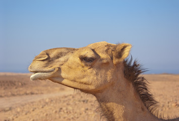 camel dromedary profile in the desert blue sky in the background