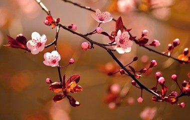 Beautiful flowering Japanese cherry - Sakura. Wall mural