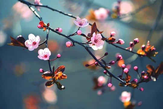 Spring flowering Japanese tree Sakura