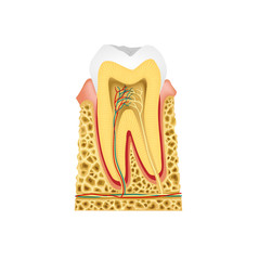 Longitudinal section in the tooth -Tooth Anatomy