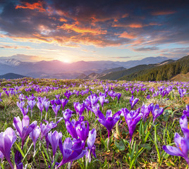 Wall Mural - Colorful spring sunrise with field of blossom of crocuses in mou