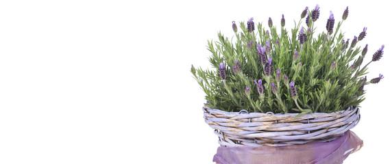 Lavendel in lila Körbchen auf Holzuntergrund isoliert