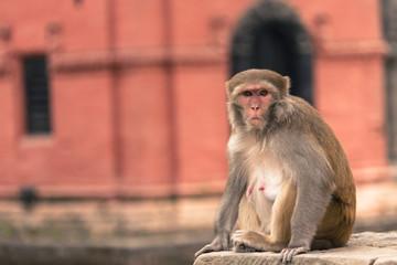 Young rhesus macaque monkey at Swayambhunath temple, Kathmandu v
