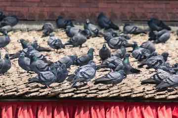 Tile roofs with many birds on the Durbar square in Khatmandu, Ne