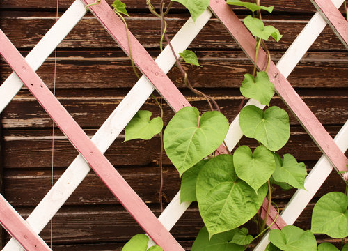 leaves on a wooden lattice
