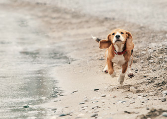 Beagle puppy running on the sea beach