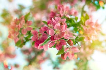 Blossoming cherry tree. Beautiful pink flowers. Retro style tone