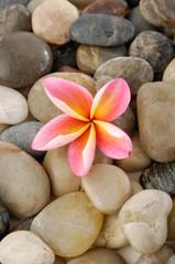 Pink frangipani and pebbles