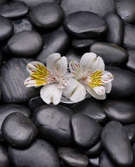 White two orchid in bowl on zen black stones