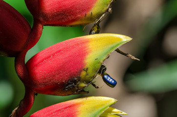 Heliconia Bihai flower with blue seed
