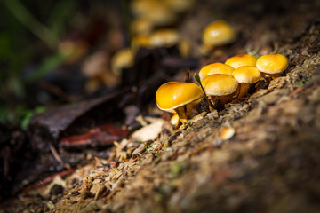 Yellow mushrooms on a glade in the forest