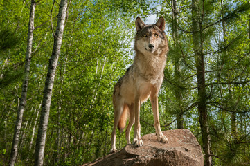 Wall Mural - Grey Wolf (Canis lupus) Stands Atop Rock Looking Forward