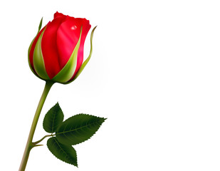Flower background with a beautiful red rose with green leaves.
