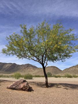 Arizona Mesquite tree in mountain desert backyard