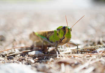 Front view of migratory locust in wilderness.