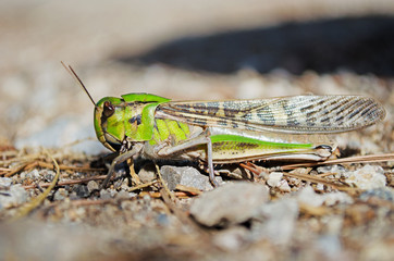 Side view of migratory locust in wilderness