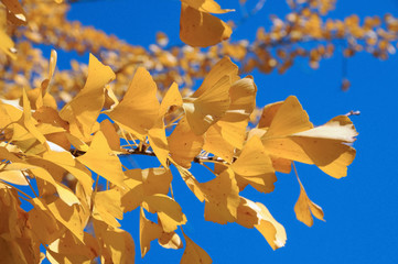 Ginkgo leaves in autumn colors