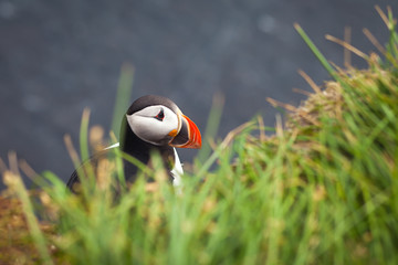 Wall Mural - Beautiful Summer Picture of Icelandic Horned Puffin In Iceland